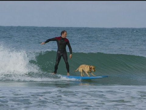 Mango the Cornish Surfing Dog