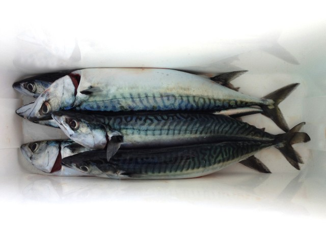 Mackerel coolbox