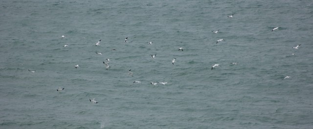 Gannets Dive Bombing Cornwall
