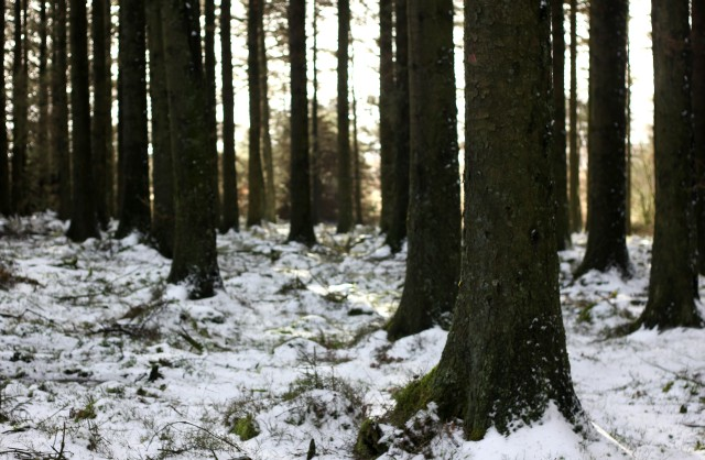 Snow forest Dartmoor
