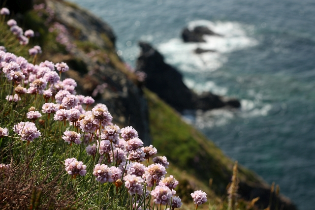 Cornish Cliff Flowers