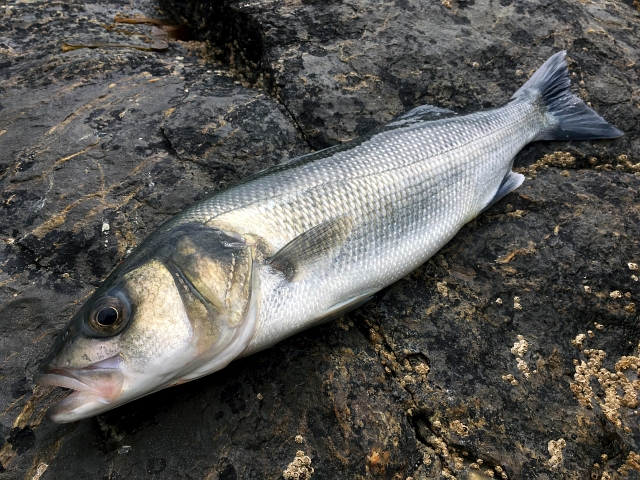 North Cornwall Bass