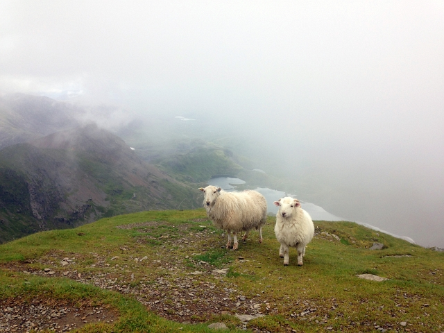 Snowdon Summit Sheep