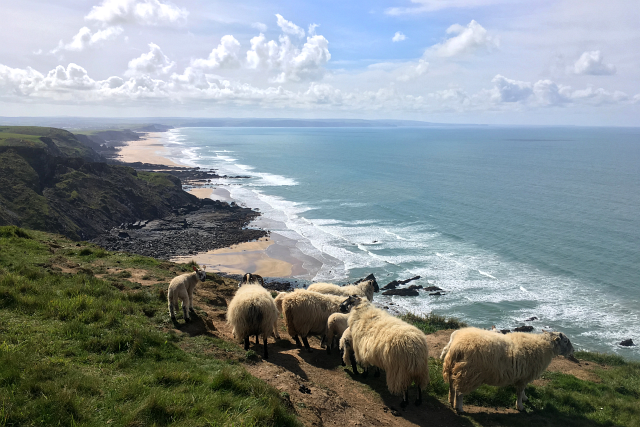 Sheep Coastal Path Cornwall