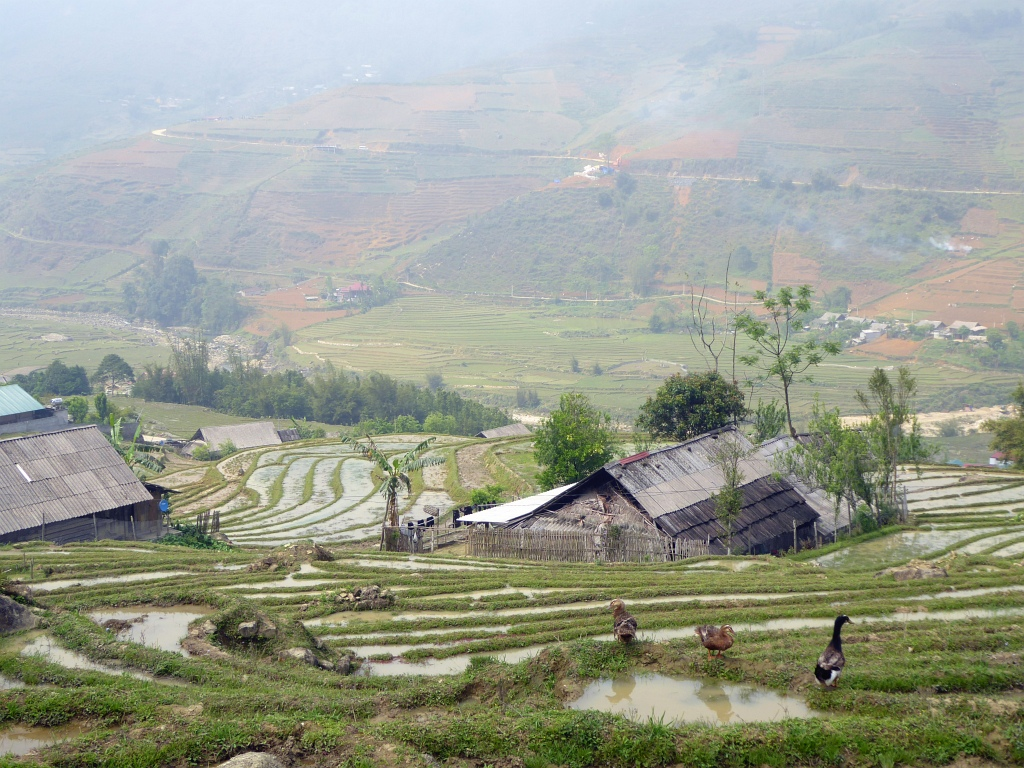 Sapa Mountains Rice Paddy Ducks