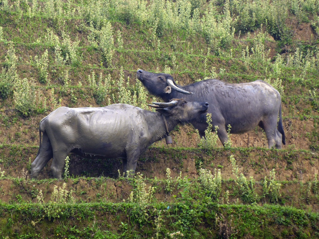 Sapa Water Buffalo Two